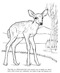 Small Picture Animal Drawings Coloring Pages White Tail Deer animal