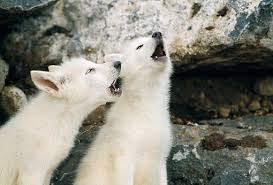 gray wolf pups howling. Simple Pups WOV 09 RW0028 01  Kimball Stock Two Arctic Gray Wolf Pups Howling By Den With
