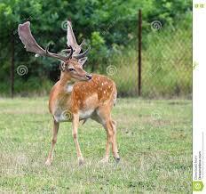 background images animals. Fine Background Dama Dama  Beautiful Natural Background With Animals Forest And Background Images Animals