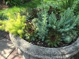 sedum and sempervivums growing in a concrete urn