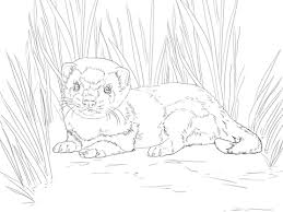 Baby Ferret Coloring Page Free Printable Coloring Pages