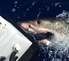 great white shark attacks boat. Contemporary Shark Terrifying A Boat Carrying Four Fishermen Was Attacked By A 16 Foot Great  White Shark On Great White Shark Attacks Boat H