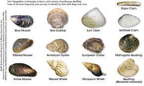Clam Identification Chart Shellfish Identification New Hampshire Saltwater Fishing