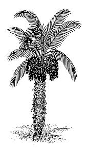Tree Plant Palm Tree Date Palm Arecales Elaeis Woody Plant