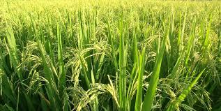 Image result for CRISPR-edited rice plants