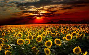 Awesome Sunset Sunflower Field High Res ...