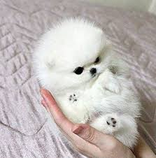 teacup pomeranian puppies for sale 250. Perfect Sale Jovial Teacup Pomeranian Pups Available Inside Puppies For Sale 250 R
