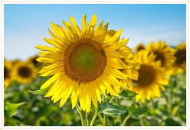 15 Most Beautiful Types of <b>Sunflowers</b> - FTD.com