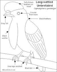Small Picture Umbrellabird Animal Coloring Pages U Is For Umbrella Bird Free