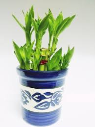 feng shui plants for office. Green Plant Indoor 2 Layer Lucky Bamboo Plants Feng Shui For Office P