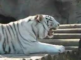 white tiger growling. Delighful White White Tiger Growls In Growling A