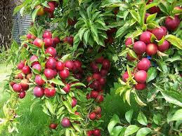 Fruit Trees Bushes And Vines For Natural Growing In The Ozarks Fruit Trees For Sale In Nc