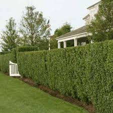 Image result for california privet