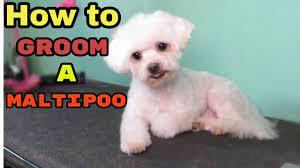how to groom a maltipoo you