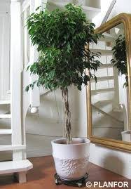 low maintenance office plants. Braided Ficus Tree Low Maintenance Office Plants
