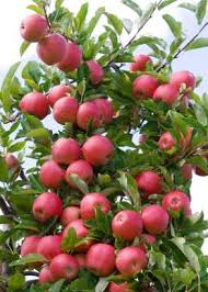 NMSU Fruits And Nuts For New Mexico OrchardsFruit And Nut Trees