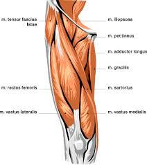 Leg Muscle Chart Muscle Chart For The Upper Leg Upper Leg