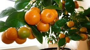 Buy Apricot Trees Fan Trained Online  CRJ Fruit Trees Nursery UKSmall Orange Fruit On Tree