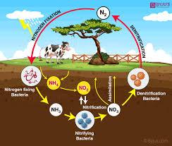 Nitrogen Cycle Definition Process Steps