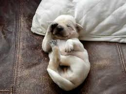marshmellow the white pug puppy. Subscribe In Marshmellow The White Pug Puppy