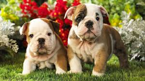 funny pet wallpapers english bulldog puppy funny pet wallpapers
