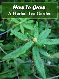 how to grow an herbal tea garden