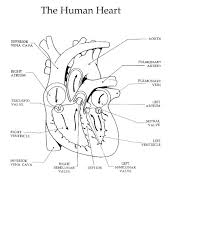Double Circulation Flow Chart The Heart And Circulation Of Blood