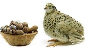 Rezultat slika za jaja prepelice za imunitet