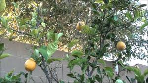 lemon tree x: growing a lemon tree for food lisbon lemon citrus tree update