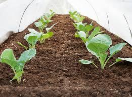 gardening fall planting vegetables for spring harvest overwinter vegetables vegetable gardening