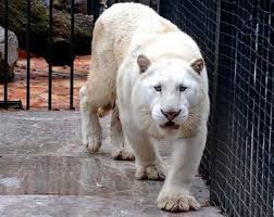 albino black panther. Plain Panther I See Your Albino Crow And Raise You An Black Panther Well Not  Anymore And Albino Black Panther Reddit