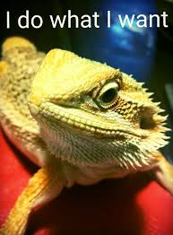 bearded dragon attitude sassy pets