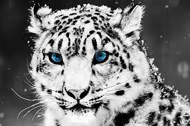 single canvas wall art print on snow leopard canvas wall art with leopard print canvas blue eyed leopard black white with blue