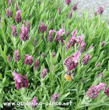 flowers for garden. French Lavender - Nice Scent And Flowers. The Bumblebees Love It Too! Flowers For Garden