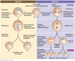 Meiosis Vs Mitosis Comparison Schoolworkhelper