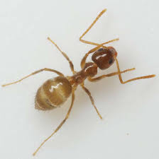 Small Red Ants In Kitchen Ants Exterminator Pest Controlhome Team Pest Defense
