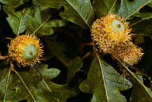 Types Of Acorns Chart Acorns Everything You Need To Know For Deer Hunting Or