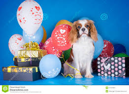 puppy cavalier king charles spaniel with balloons and gifts on b