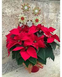 furst poinsettia gift plant