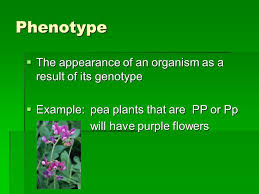 3 phenotype the appearance of an organism as a result of its genotype exle pea plants that are pp or pp will have purple flowers will have purple