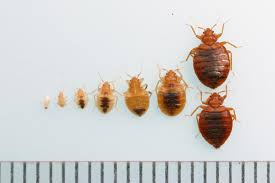 20+ Cockroach Nymph Vs Bed Bugs Pictures