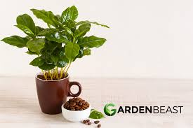 We deliver plants straight to your door. Coffee Plant Guide How To Grow Care For Coffea Arabica
