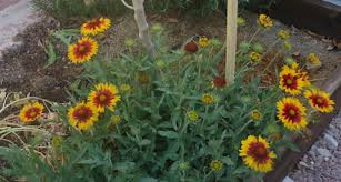 a native of south africa the daisy like gazania flower is a member of the aster family and can tolerate dry climates gazanias are hardy and will thrive in