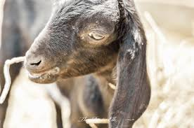 Dairy Goat Breeds 6 Dairy Goat Breeds Perfect For Your Small Homestead The