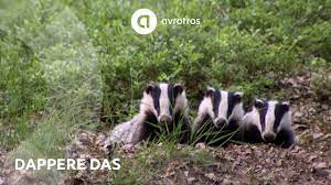 Wild in Nederland: dappere das - YouTube