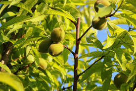 Do You Need 2 Plum Trees To Produce Fruit
