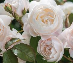 top 5 david austin roses for growing in