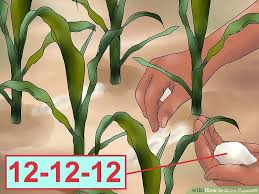 Growing Popcorn How To Grow Popcorn With Pictures Wikihow