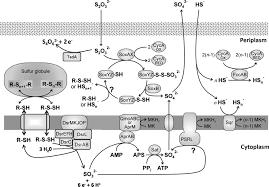 Genome Wide Transcriptional Profiling Of The Purple Sulfur