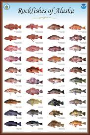 Rockfish Identification Chart Baranof Fishing Excursions Ketchikans Resource For Sport